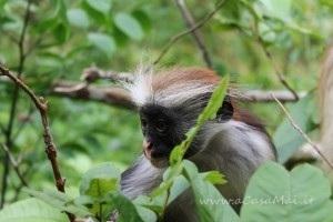 scimmietta endemica