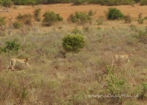 Ghepardi in lontananza
