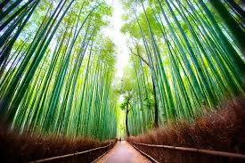 Arashiyama foresta di bambù, Giappone