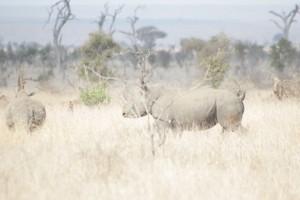 Rinoceronte bianco, Sudafrica