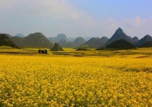 Piantagioni di colza a Luoping, Cina
