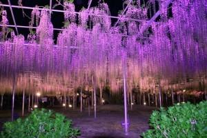 Parco dei fiori di Ashikaga durante la fioritura del glicine, Giappone