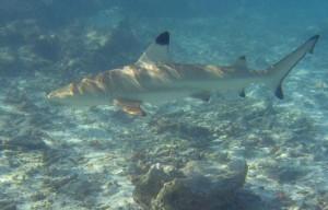 Blacktip reef shark Pigeon Island, Sri Lanka