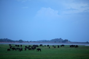 Elefanti al Minneriya National Park, Sri Lanka