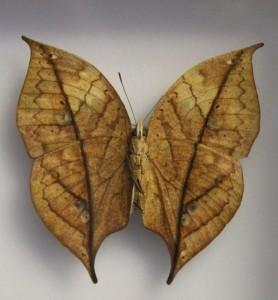 Farfalla mimetica alla Casa delle farfalle di Bordano