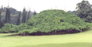 Ficus gigante al Peradeniya Botanical Garden, Sri Lanka