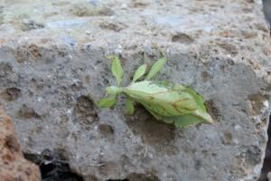 Insetto foglia alla Casa delle farfalle di Bordano