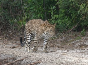 Leopardo al Wilpattu National Park, Sri Lanka