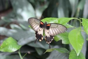 Serra Asia alla Casa delle farfalle di Bordano (2)