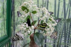 Serra Asia alla Casa delle farfalle di Bordano (6)