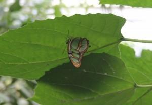 Serra Asia alla Casa delle farfalle di Bordano (8)