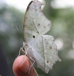 Serra Asia alla Casa delle farfalle di Bordano (9)