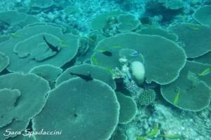Barriera Corallina 1, Maldive 2013