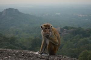 Scimmia nel tempio