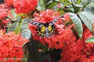 Farfalla vicino al Monte Popa, Birmania