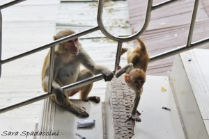 Scimmiette al Monte Popa, Birmania (2)