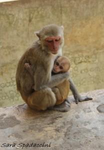 Scimmiette al Monte Popa, Birmania (5)